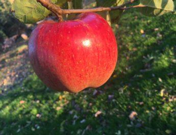 Une pomme à JDA !
